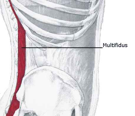 core muscles - multifidus